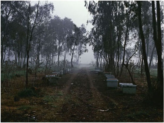 Eucalyptus trees and beehives, Israel, 2003