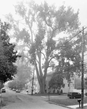 Mitch Epstein, Eastern Cottonwood, Sprague Avenue, Staten Island II, 2011