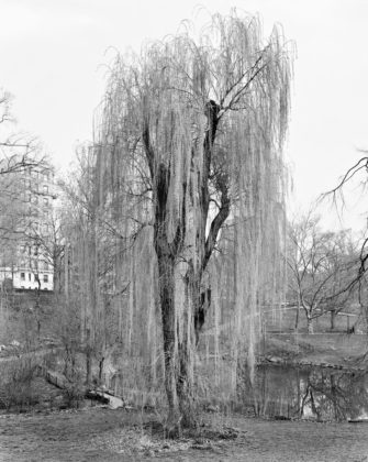 Mitch Epstein, Weeping Willow, Central Park, New York, 2012