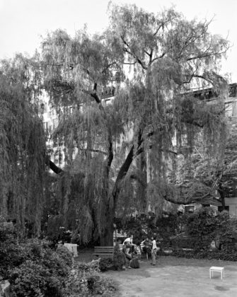 Mitch Epstein, Weeping Willow, La Plaza Cultural Garden, New York, 2011